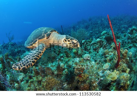 Swimming Hawksbill Turtle with a Coral Reef - stock photo