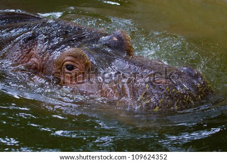 Swimming hippo, close up shot.