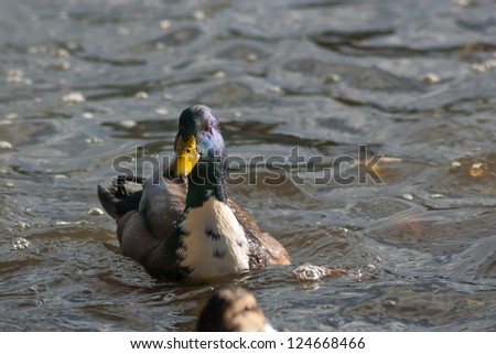 Swimming mallard duck - stock photo