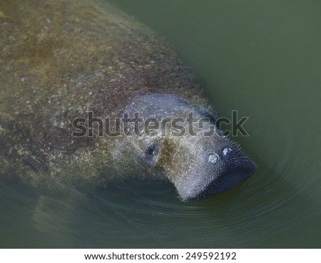 Swimming Manatee Near Tampa ,Florida - stock photo