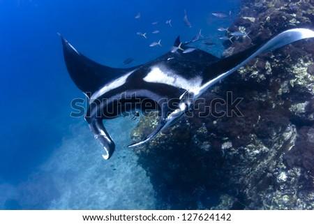 Swimming Manta Ray - stock photo
