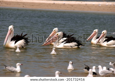 Swimming pelicans and seabirds in Australia - stock photo