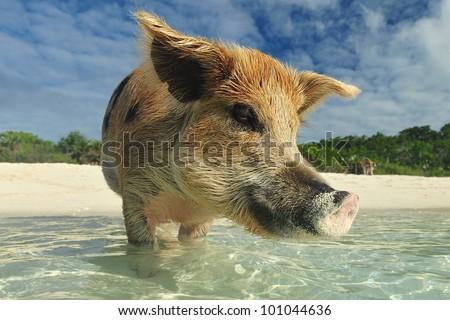 Swimming Pig - stock photo
