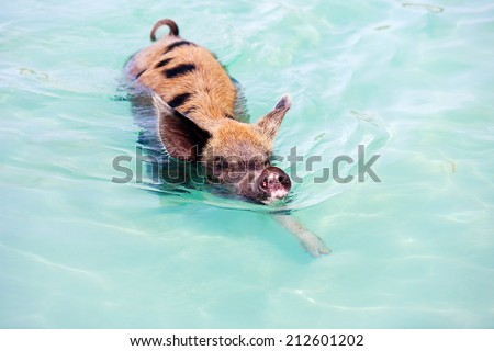 Swimming pig in a water at beach on Exuma island Bahamas - stock photo