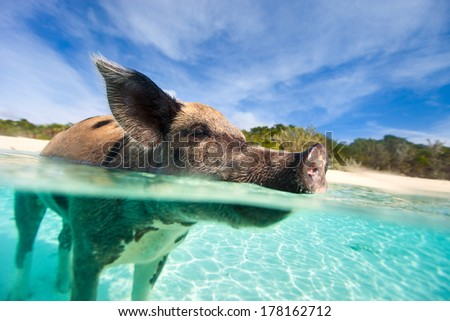 Swimming pig in water at beach on Exuma island Bahamas - stock photo