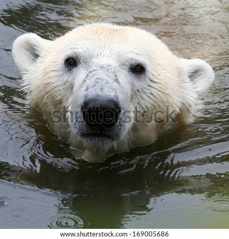 swimming Polar bear - square backgound - stock photo