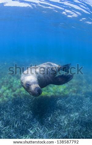 swimming sea lion - stock photo