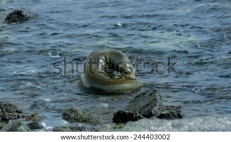 swimming sea lion in san cristobal galapagos islands ecuador - stock photo