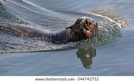 Swimming seal. Cape fur seal (Arctocephalus pusilus). Kalk Bay, False Bay, South Africa - stock photo