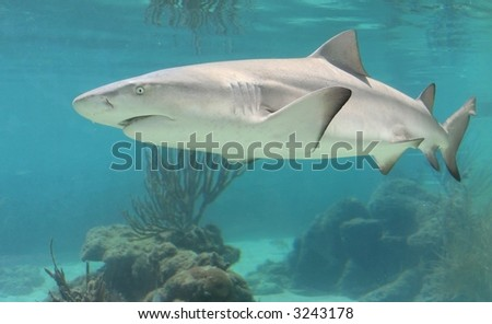 Swimming shark - stock photo