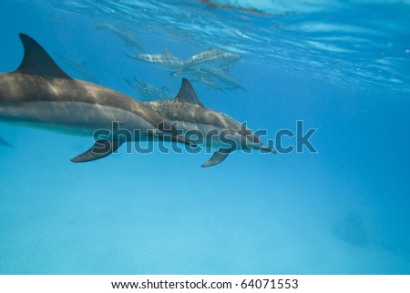 Swimming Spinner dolphins (Stenella longirostris). Sataya, Southern Red Sea, Egypt.
