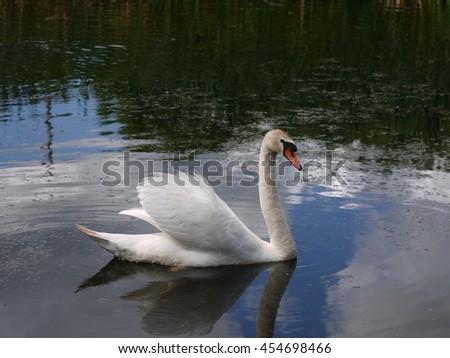 swimming swan in summer scenery - stock photo
