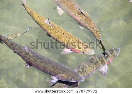 Swimming Trout Underwater - stock photo