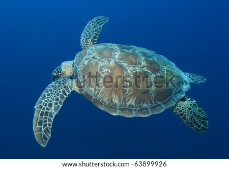 Swimming turtle in the blue