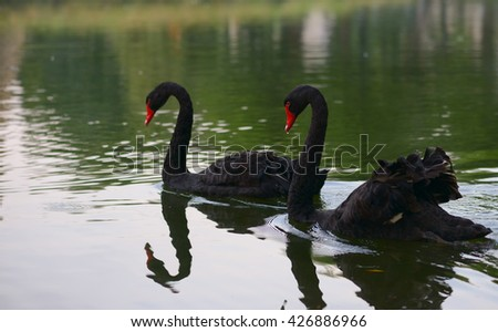 Swimming two black swans on a lake - stock photo