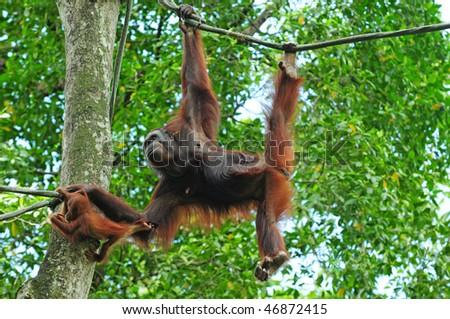 Swinging Gorilla With baby - stock photo