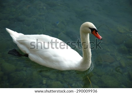 Swining swan on a River - stock photo