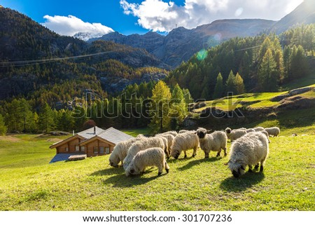 Swiss Alps and Valais blacknose sheep nest to Zermatt  in Switzerland - stock photo