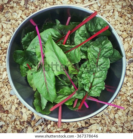 Swiss chard, edible leafy greens harvested from the garden in a big metal bowl. - stock photo