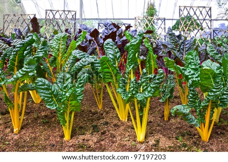 Swiss chard in a vegetable garden - stock photo