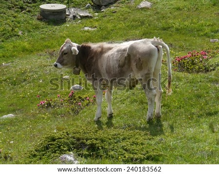 Swiss cow in a meadow along the Bernina pass in Switzerland - stock photo