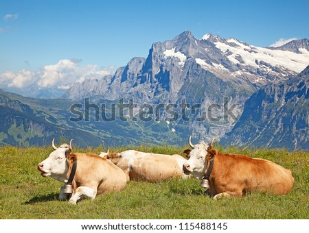 Swiss cows in the alps