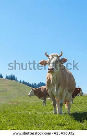 Swiss cows on pasture. Cow in alpine landscape. Cows on mountain pastures. - stock photo