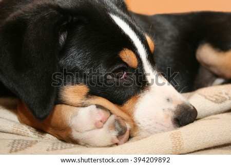 Swiss mountain dog puppy