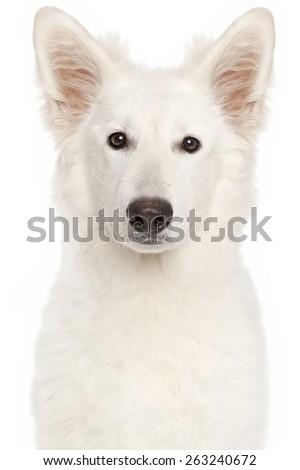 Swiss Shepherd dog. Close-up portrait isolated on white background - stock photo