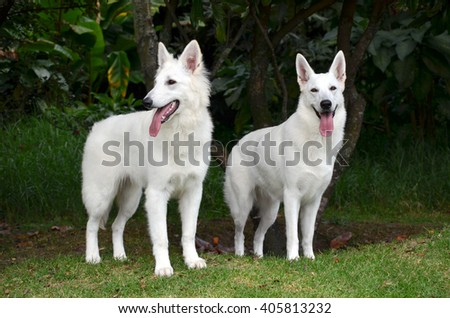 Swiss shepherd white dog looking with attention - stock photo