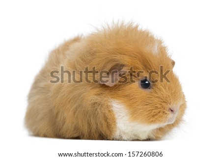 Swiss Teddy Guinea Pig, isolated on white - stock photo