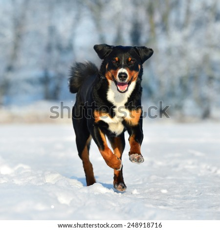 Swiss tricolor dog runs on the snow - stock photo