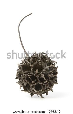 Sycamore Seed Pod - stock photo