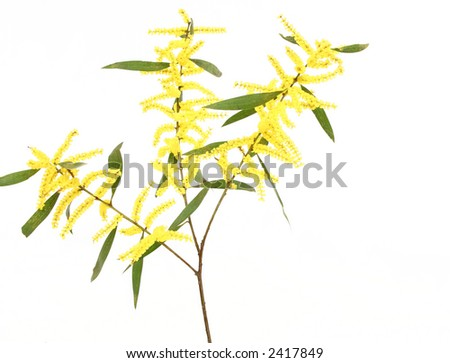 Sydney Golden Wattle.  This acacia has cylindrical spike nflorescences and a flat leaf structure, called phyllodes. - stock photo