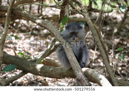 Sykes Monkey watching forest floor