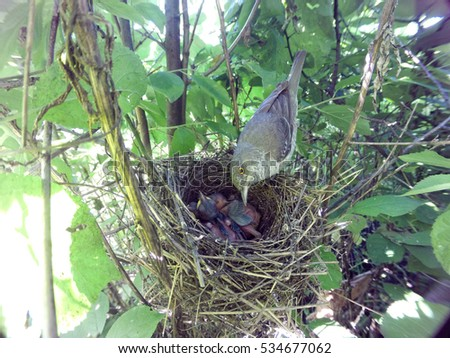 Sylvia nisoria. The nest of the Barred Warbler in nature.  Russia, the Ryazan region (Ryazanskaya oblast), the Pronsky District.