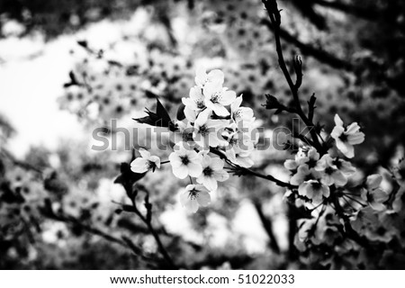 Symbol of Japanese culture. Cherry tree  blossoms in black and white. - stock photo