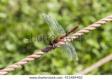 Sympetrum sanguineum, Ruddy darter, dragonfly from Germany - stock photo
