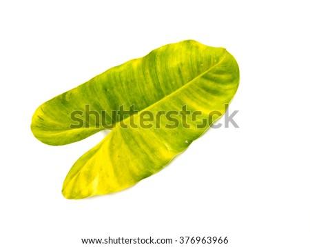Syngonium podophyllum leaves on a white background. - stock photo