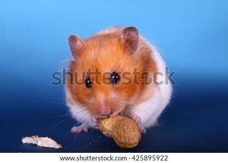 Syrian hamster eating a peanut - stock photo