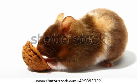 Syrian hamster eating a walnut
