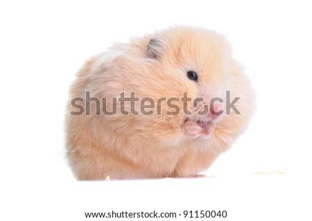 Syrian hamster eating bakery isolated on white background - stock photo