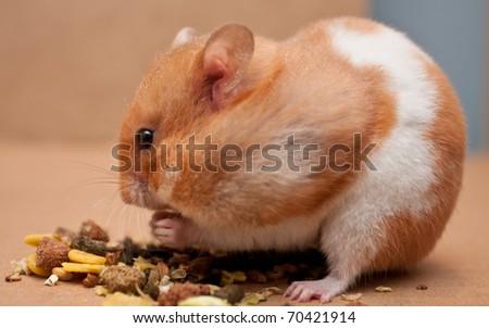 Syrian hamster eating grain - stock photo