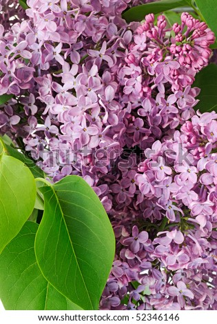 Syringa vulgaris. Flower lilac and green leaf closeup - stock photo