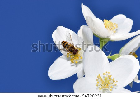 Syrphidae (Hoverfly) on a jasmine flower - stock photo