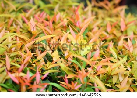 Syzygium australe plant, commonly called Brush Cherry or Scrub Cherry, is a rainforest tree native to eastern Australia - stock photo