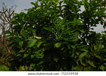Syzygium mediumsized shrubs spear shaped leaves stock photo royalty syzygium medium sized shrubs with spear shaped leaves white flowers are yellow fragrant mightylinksfo