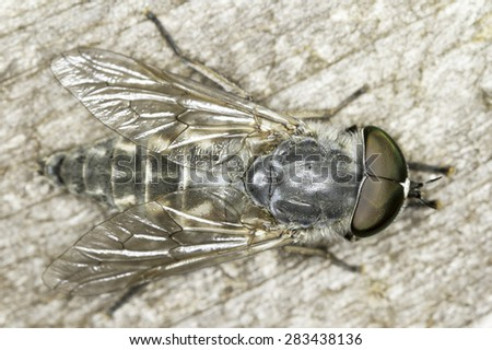 Tabanus horsefly, macro photo - stock photo