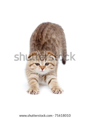 tabby british little kitten stretches itself isolated - stock photo