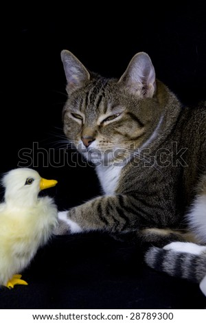 tabby cat and a duck - stock photo